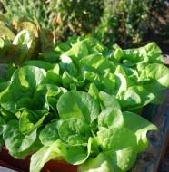 vancouver lettuce farm